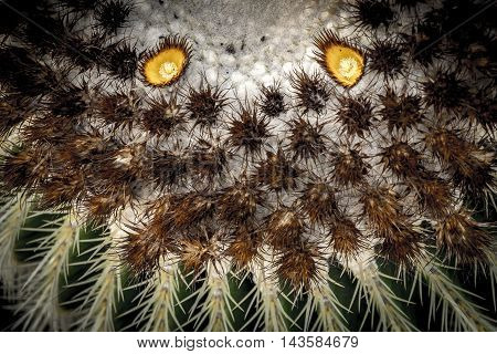 Cactus detail in Lanzarote in Canary Islands Spain