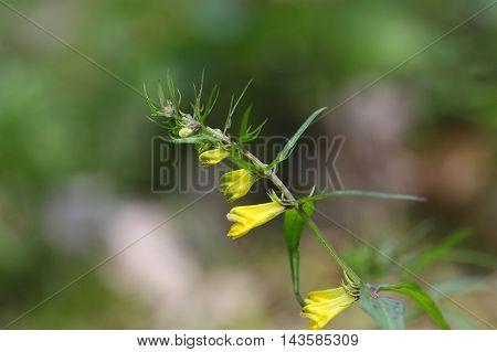 Flower of a common cow-wheat (Melampyrum pratense)