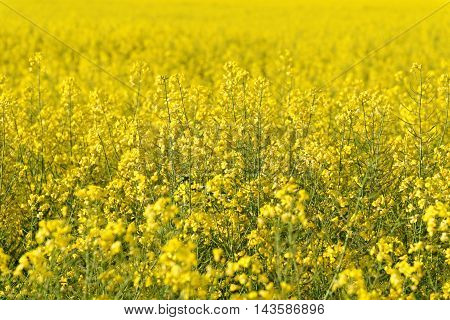 Yellow rapeseed field useful as a background