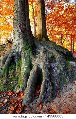 massive tree roots in autumnal forest. Fallen leaves. Sunset time