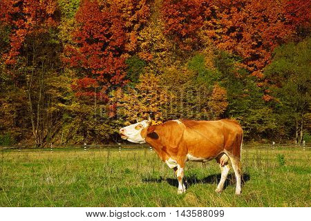 Single cow moos near colorfull Autumnal forest. nature background.