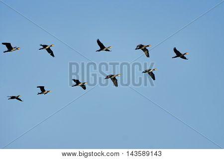 Flock of cormorants flying wedge summer day