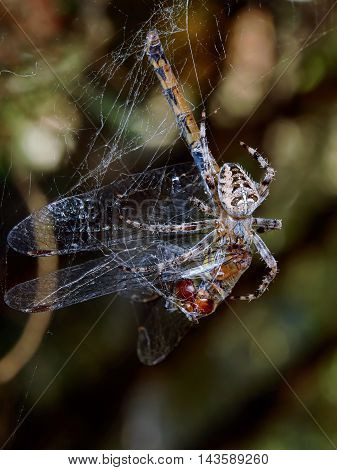 Spider with the victim of a dragonfly in the summer garden