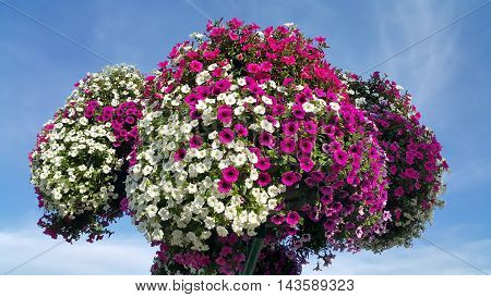 Flowers of bright petunia against the blue cloudless sky
