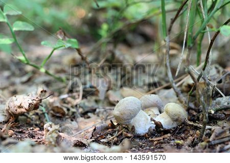 Three little ceps grow in the deciduous forest close-up photo