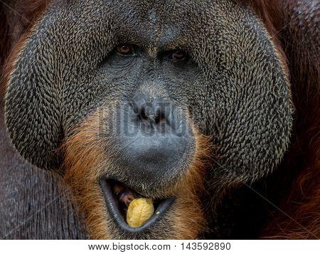 Close up portrait of a Large Male Orangutan eating banana