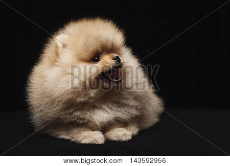 photo of spitz dog sitting and looking up isolated on black background