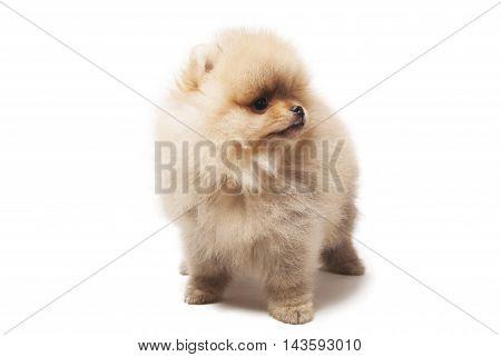 photo of spitz dog standing isolated on white background