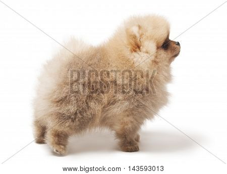photo of profile spitz dog standing isolated on white background