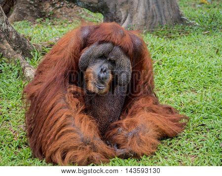 Close up Portrait of a Large Male Orangutan