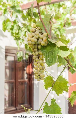 Grapes in the sun of Santorini - Greece