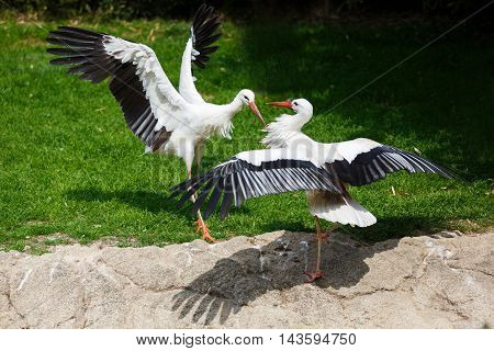 Storks battle in the rainforest at summer time