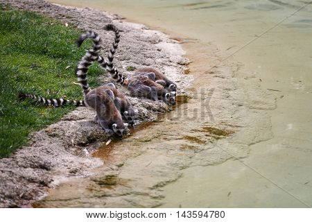 Lemurs at the watering in summer time
