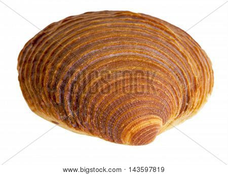 macro shot of a red sea shell in white back