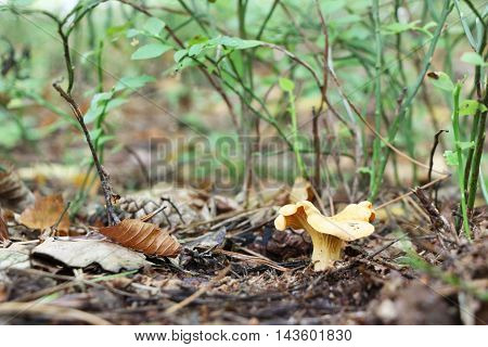 The beautiful lonely chanterelle growing in the deciduous forest close-up photo