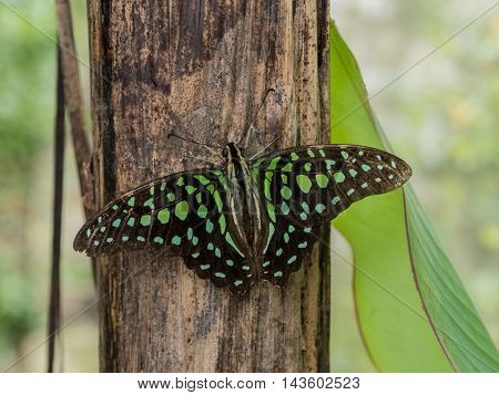 Close up of Tailed Jay Graphium agamemnon