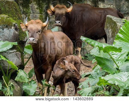 Family of gaur - the largest bulls in the world