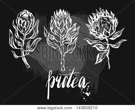 Hand drawn vector graphic floral set of ink protea flowers isolated on black chalkboard background.Design decoration elements for greetingsave the datebirthday cards.
