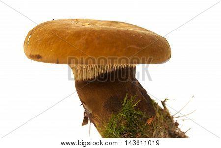 Tapinella Atrotomentosa Or  Velvet Roll-rim