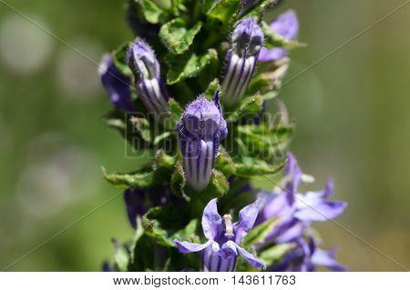 Flowers of the Great Blue Lobelia (Lobelia siphilitica) a historical medical herb against Syphilis.
