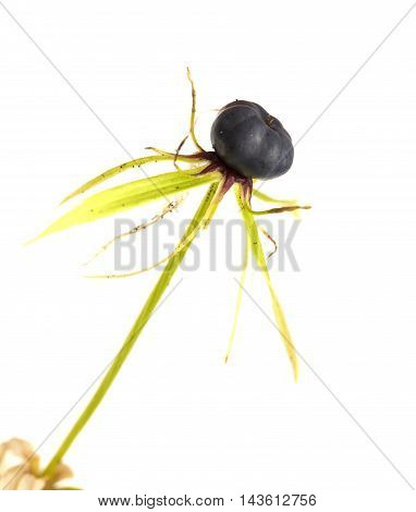 Poisonous Berry Of True Lover's Knot