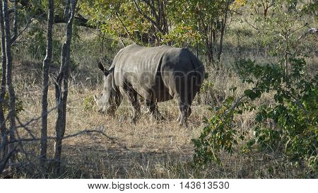 A rhino on foraging in the Kruger National Park in South Africa