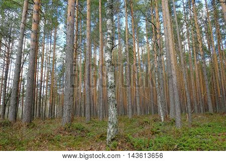 Tall pine forest at wetland in spring.