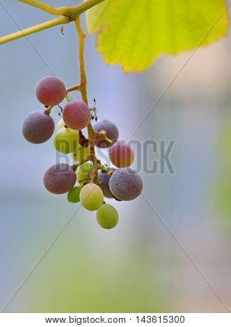 Unripe grapes with leaves at vineyard