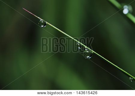 Dew drops on green grass leaves fresh