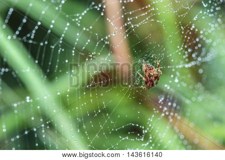 Spider on the web with dew drops