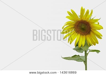 Beautiful sunflower isolated with a white background
