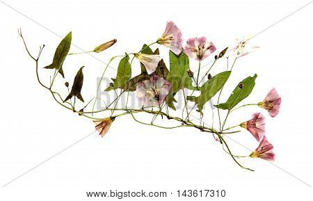 dry pressed whip bindweed covered pale pink flowers