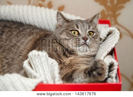 The Scotch Grey Cute Funny Cat is Lying in the Knitted White Sweater.Beautiful Look.Animal Fauna,Interesting Pet.