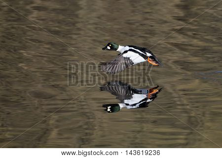 Flying male Common goldeneye (Bucephala clangula) reflected in pond water surface. Moscow region Russia