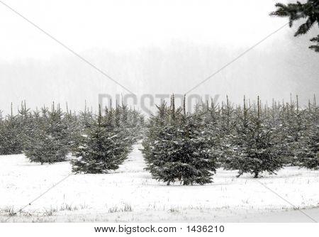Christmas Tree Farm In Snow
