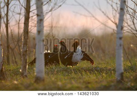 Male Black Grouses (Tetrao tetrix) at evening lek. National park Plesheevo Lake Yaroslavl region Russia