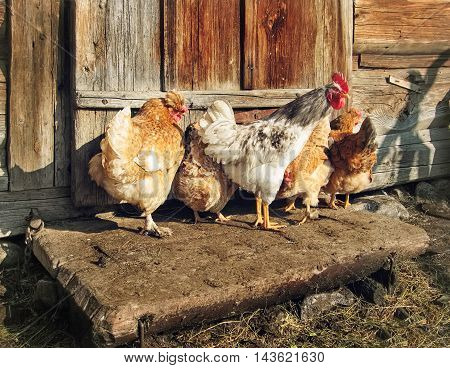 Free Range Cock and Hens outdoors rural scene.