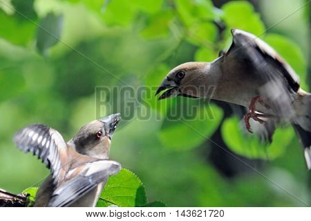 Two female hawfinches (Coccothraustes coccothraustes ) battle in flight. Moscow region Russia