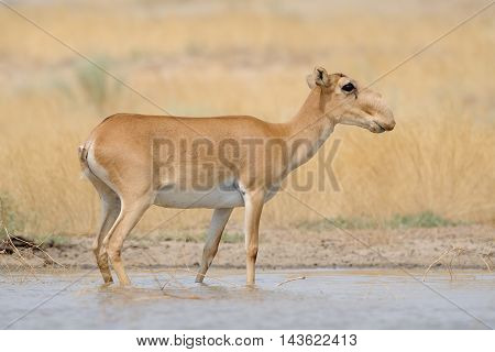 Critically endangered wild Saiga antelope (Saiga tatarica) near watering in steppe. Federal nature reserve Mekletinskii Kalmykia Russia August 2015