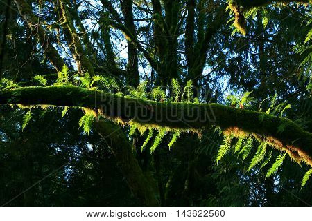 a picture of an exterior Pacific Northwest forest with a maple tree and ferns