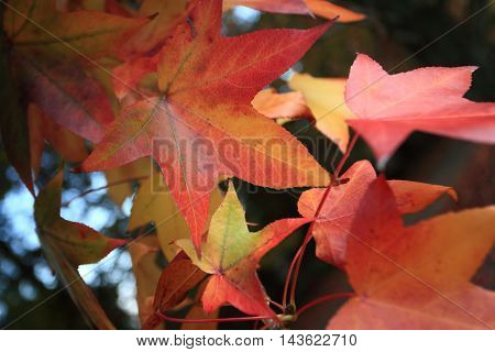 Deciduous leaves changing colour in the Autumn