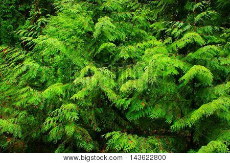 a picture of an exterior Pacific Northwest forest of young Western red cedar trees