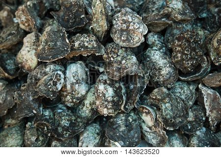 Set of oysters. People in marine waters.