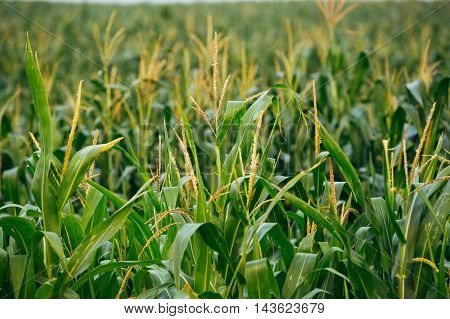 Close View Of Growing Up Young Stalk's Tops Of Corn Maize Plant On The Agricultural Field In Spring Summer
