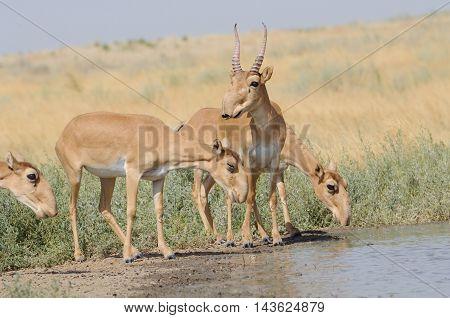 Wild Saiga antelopes (Saiga tatarica) near the watering place in the morning. Federal nature reserve Mekletinskii Kalmykia Russia August 2015