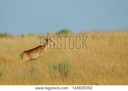 Young male wild Saiga antelope (Saiga tatarica) in morning steppe. Federal nature reserve Mekletinskii Kalmykia Russia August 2015