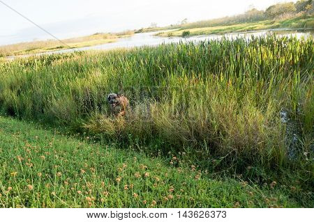 Boxer Dog Running In Swamp