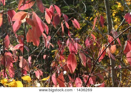 Red Osier Dogwood Branches