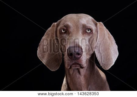 weimaraner dog portrait in black studio watching the camera