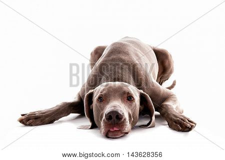 weimaraner laying in white studio showing the tongue